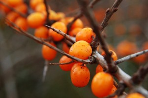 Sea-buckthorn, Облепиха